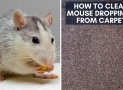 How to Clean Mouse Droppings from Carpet | 7 Safest Steps